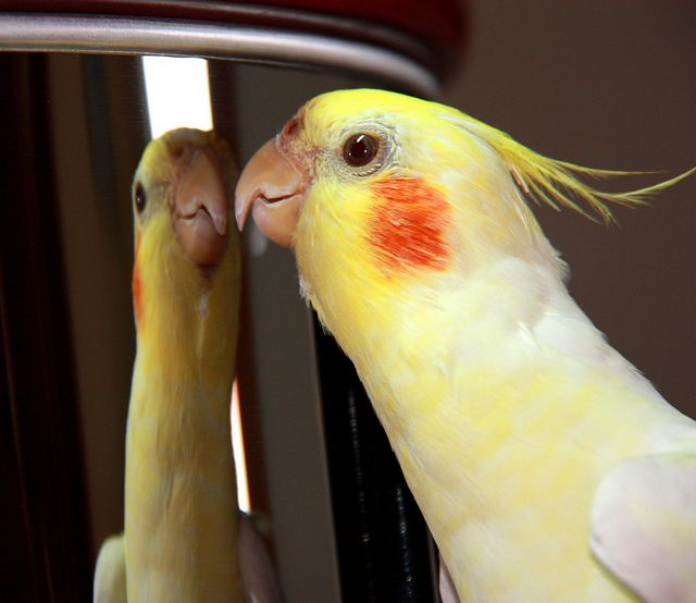 cockatiel and mirror