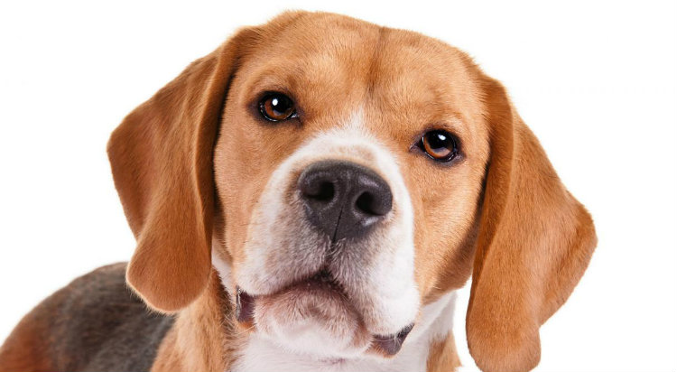 Beagle_hero