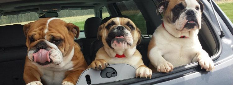 bulldogs